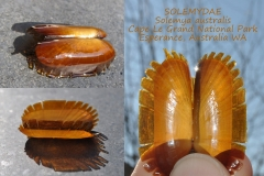 Solemya australis Esperance Australia