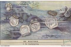 Oesters3-OXO-CHROMO