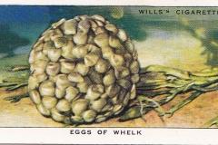 18 Buccinum undatum eggs-1