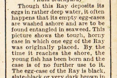 7 Egg-Case of Blonde Ray-2