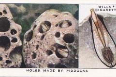 9 Pholas dactylus-1